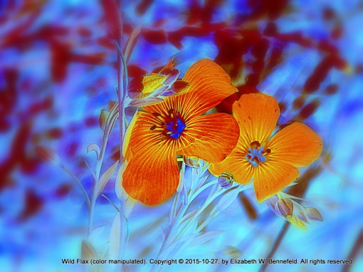 wild flax flower, colors, etc., manipulated