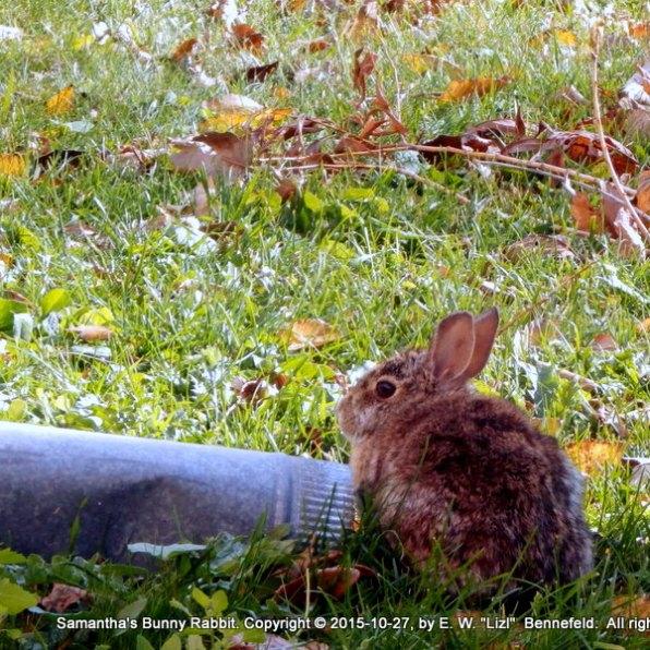 Sam's wild rabbit in October 2015