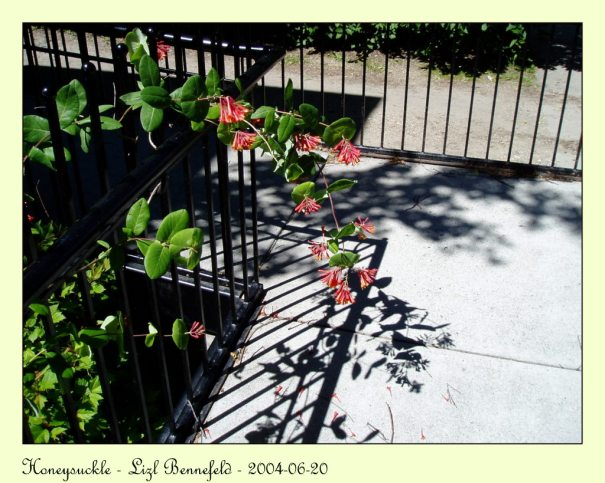 honeysuckle flowers and vines, their shadows on the walkway