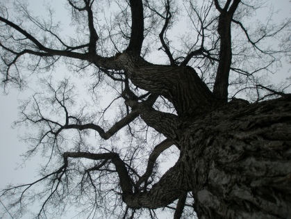 looking up to the top of a leafless cottonwood tree in winter