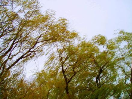 winds whipping the willow leaves