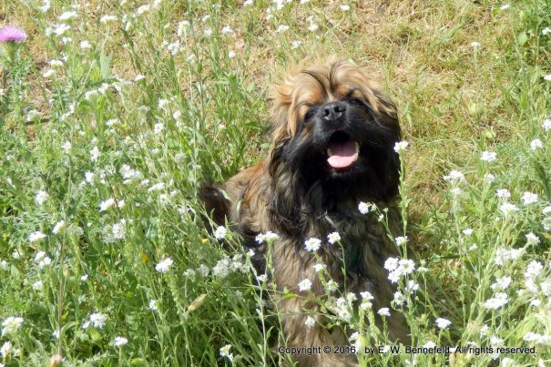 sable cocker spaniel puppy, playing in tall wildflowers