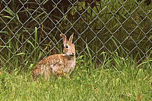 a rabbit beneath the overhanging shrubs along the back of our property