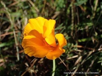California Poppy, 2017-08-28, by Lizl Bennefeld.