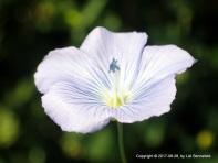 Blue Wild Flax Flower, 2017-08-28, by Lizl Bennefeld.