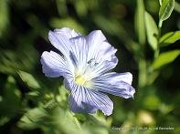 blue wild flax flower in full sunlight