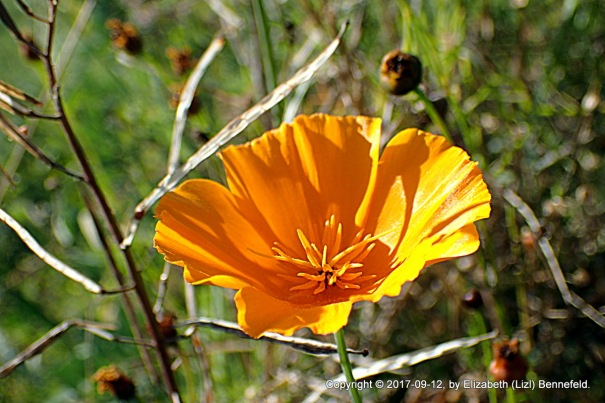 a california poppy among the last plains coreopsis stems