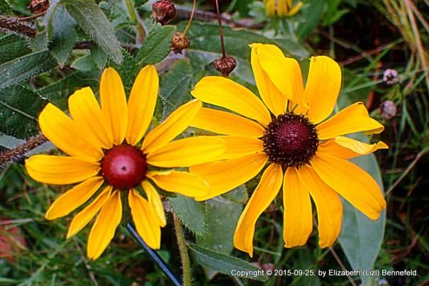 Black-eyed Susans in the garden, 2017-09-25