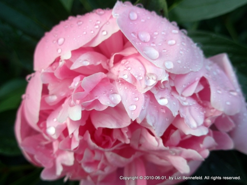 a peony flower opening in the rain