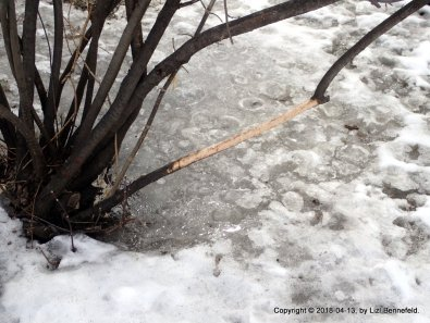 Cotoneaster Trees in Late-Spring Ice (2018-04-13b)