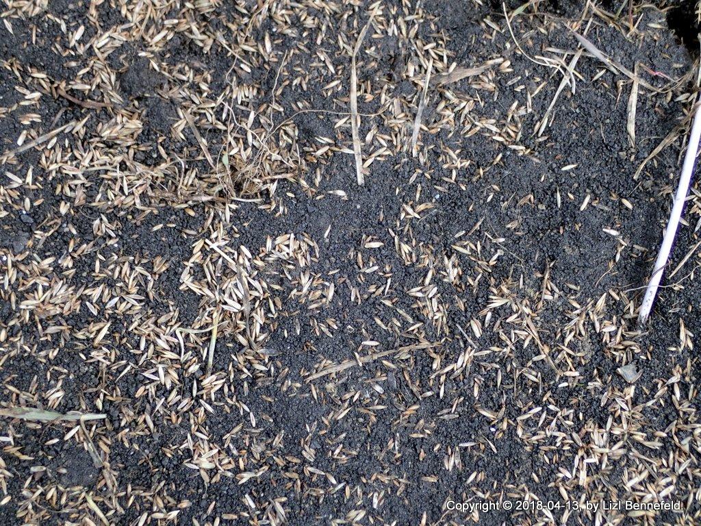 Grass Seed (2018-04-13)