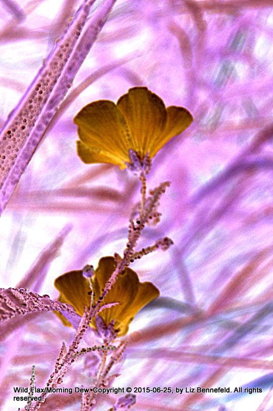 blue wild flax flowers (color manipulated through color inversion) covered in dew