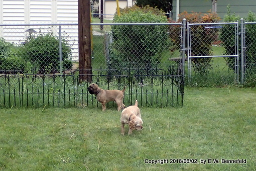 garden fence, our backyard fence, and neighbors' wire mesh fences
