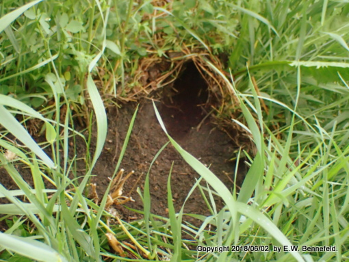 rabbit burrow (close-up) in the midst of the garden.