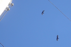 crows gathering in the neighborhood