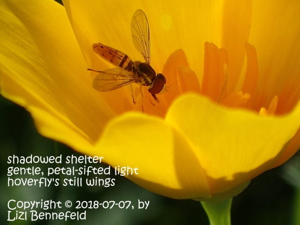 hoverfly in the depths of a California poppy at late morning