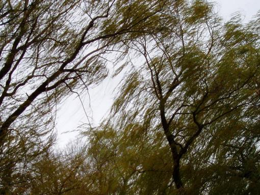 weeping willow trees during wind storm