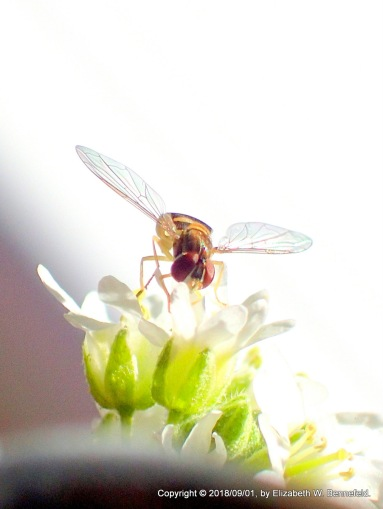 flower fly over wildflowers