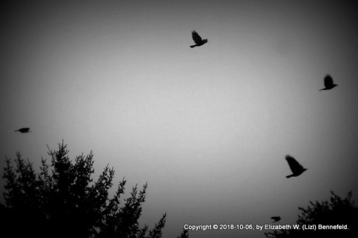 murder of crows in flight as night falls