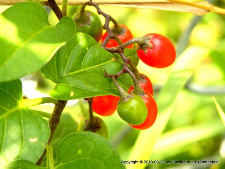 Nightshade (Bittersweet) Berries