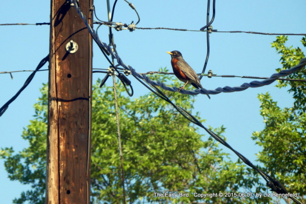 A Robin sitting and singing on a power cord strung from the pole to the house