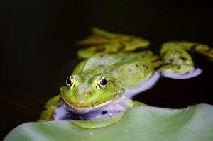 Frog - Pix