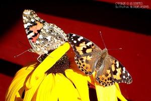 butterflies amidst the flowers
