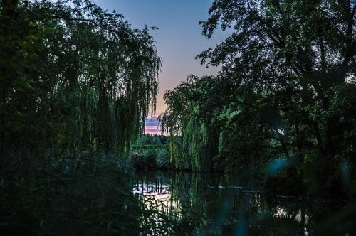 willow trees and stream at evening