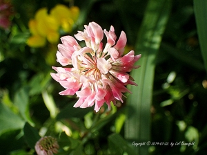 red clover flowers in my back yard
