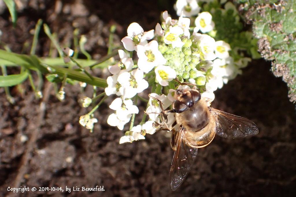 alyssum flowers and bee