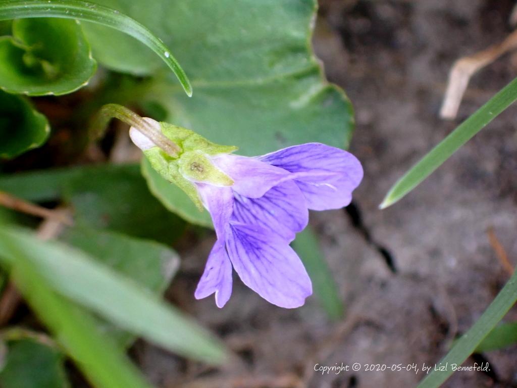 wild violet in new grass