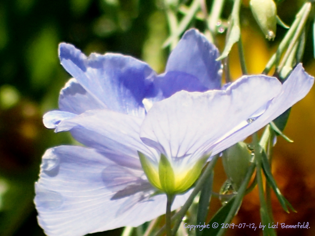 open flower (blue) in sunlight, see-through petals, shadow of pollinator's wings inside