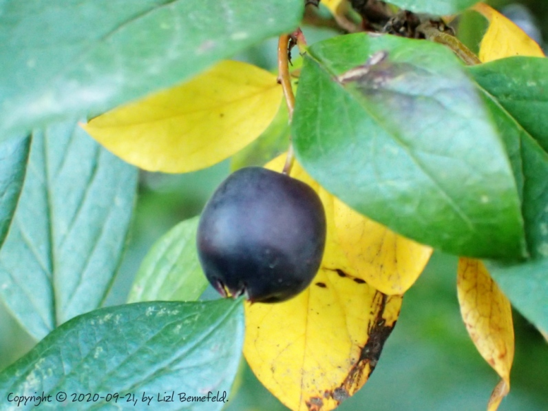 green and yellow leaves, ripe cotoneaster fruit