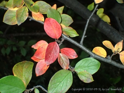 green, yellow, and red cotoneaster leaves on the branches