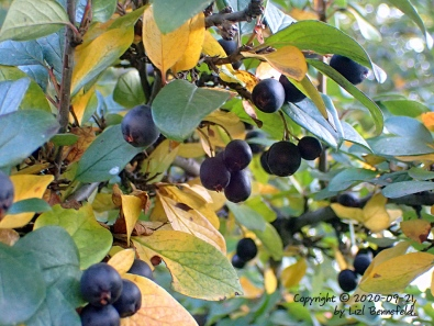 cotoneaster fruit on the branches, fall colors