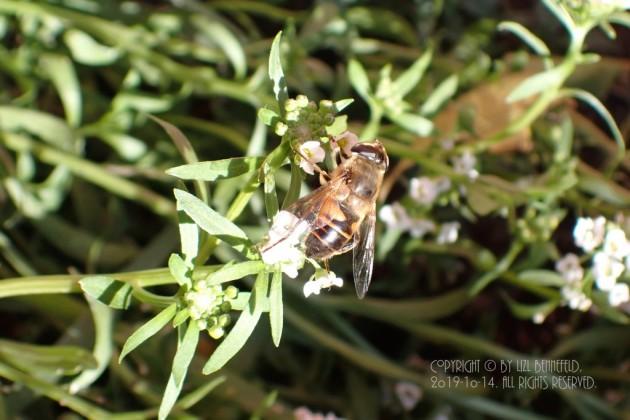 bee and alyssum flowers