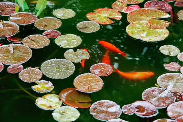 koi fish and lily pads in pond