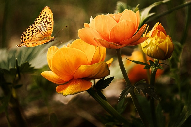 butterfly and orange flowers