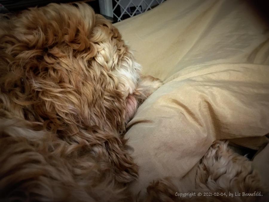 cocker spanial asleep on the bed
