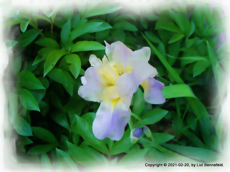 blue bearded irises, copyrighted, oils filter