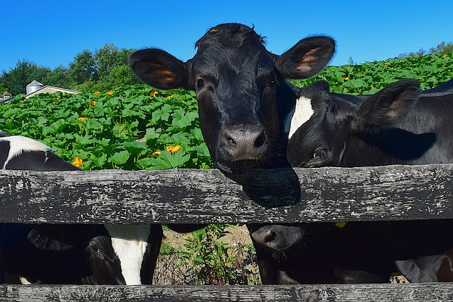 stock photo holstein cows, pasture, fence