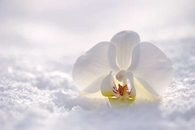 pixabay image orchid, snow