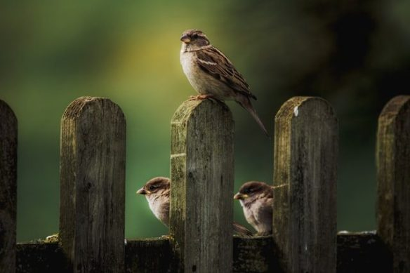 sparrows fence facing light