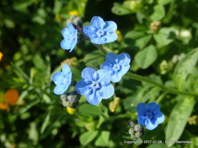 forget-me-not flowers, garden