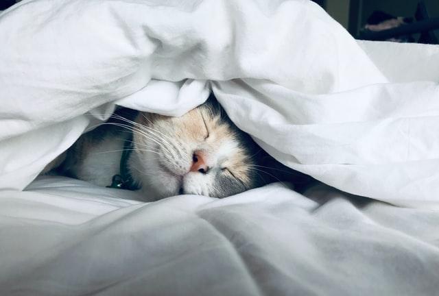 kitten in the blankets